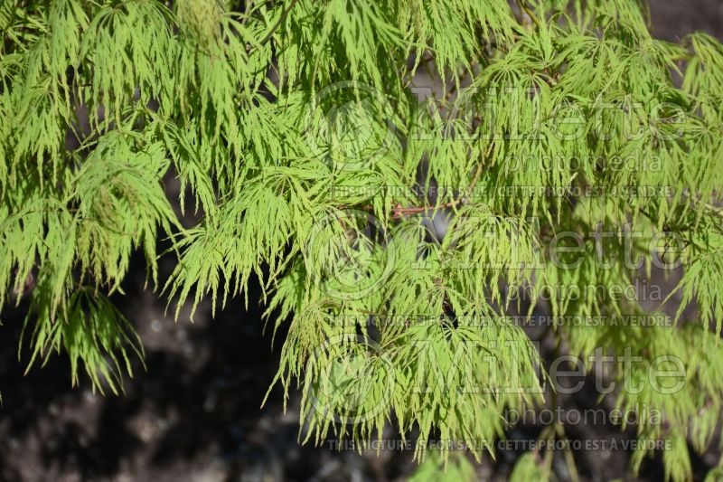 Acer Waterfall (Paperbark Maple) 3
