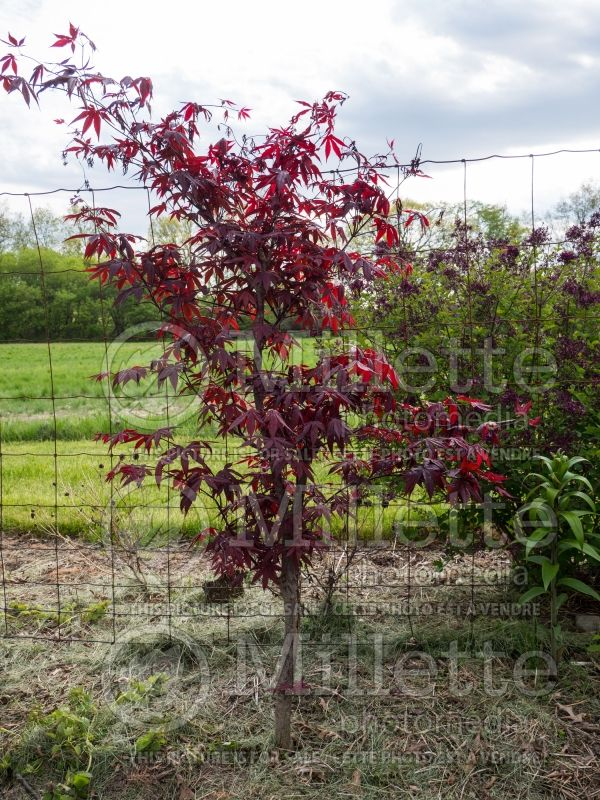 Acer Wolff aka Emperor 1 (Japanese Maple) 1