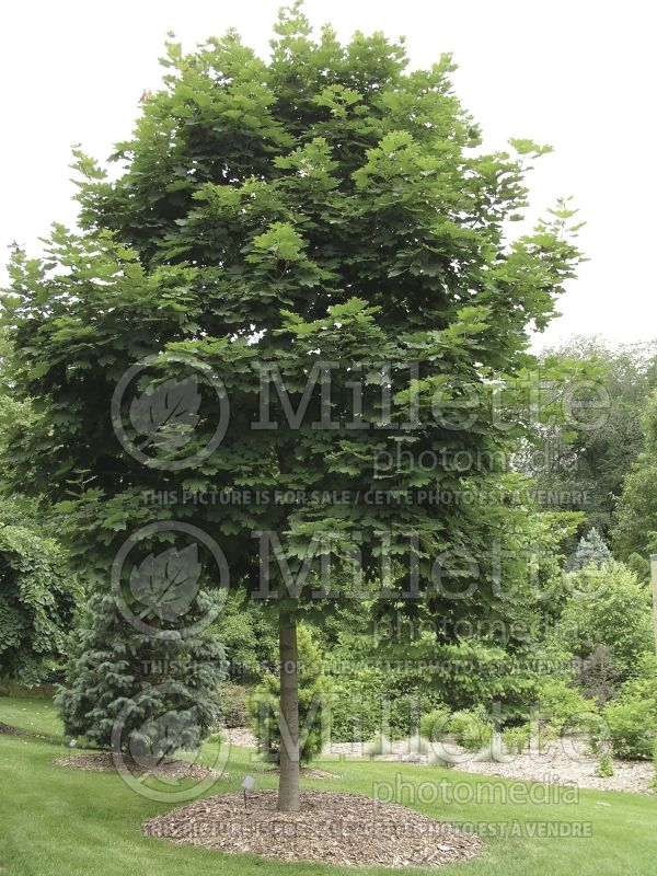 Acer Deborah (Norway Maple) 1