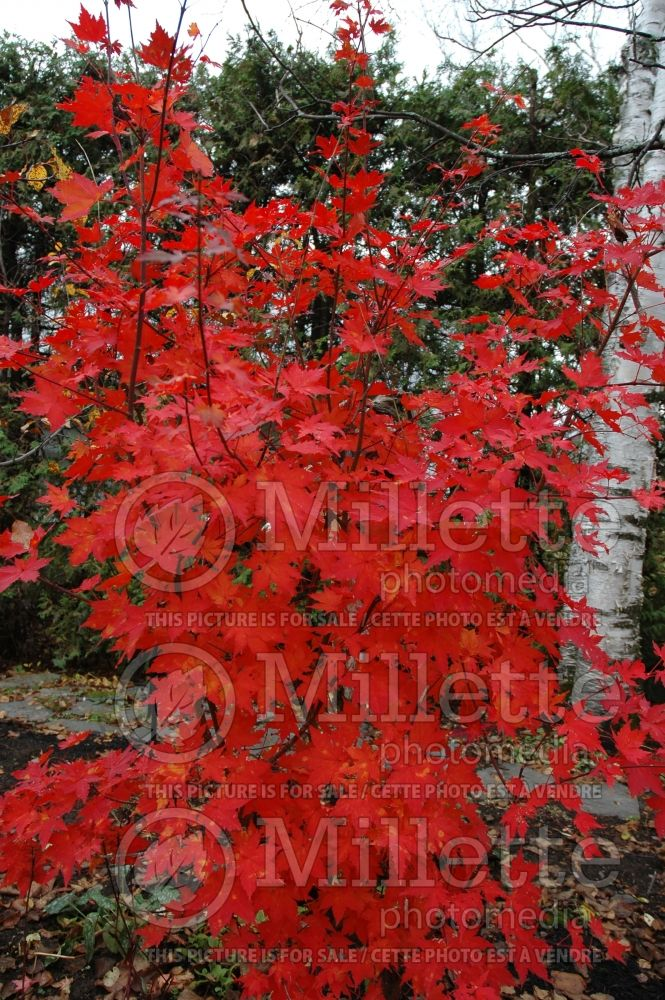 Acer pseudosieboldianum (Korean Maple) 1