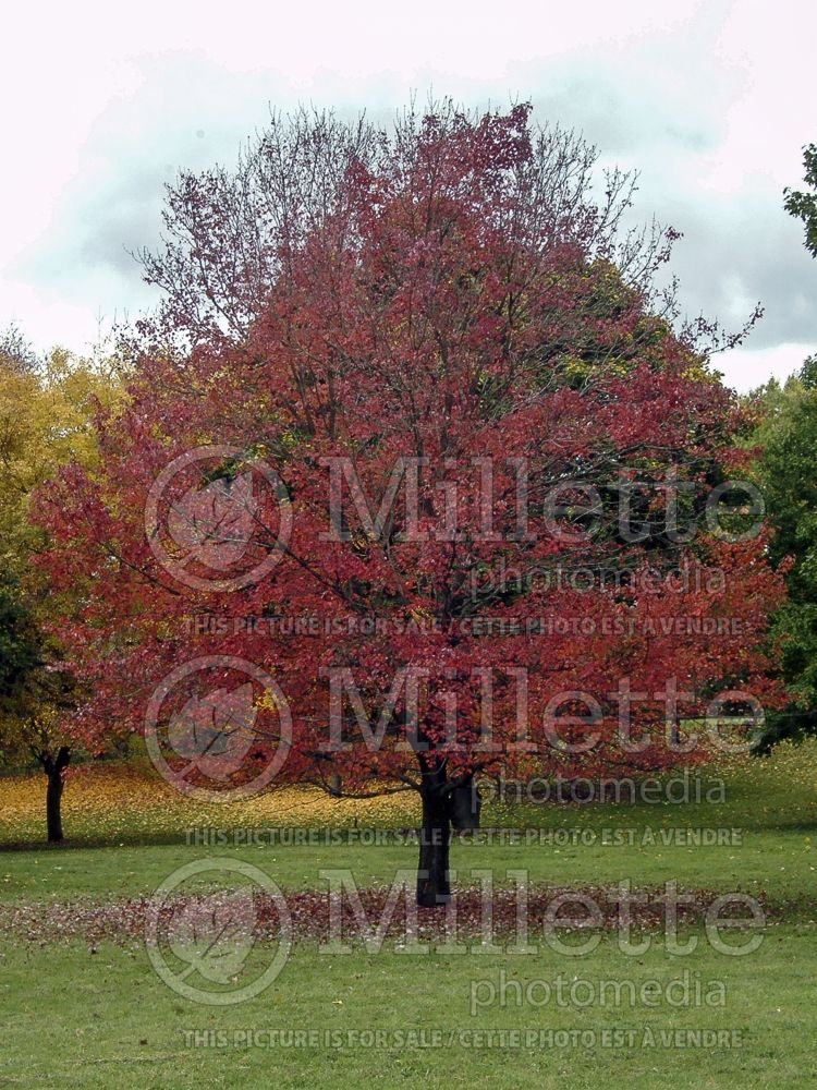 Acer Autumn Flame (Red Maple) 5