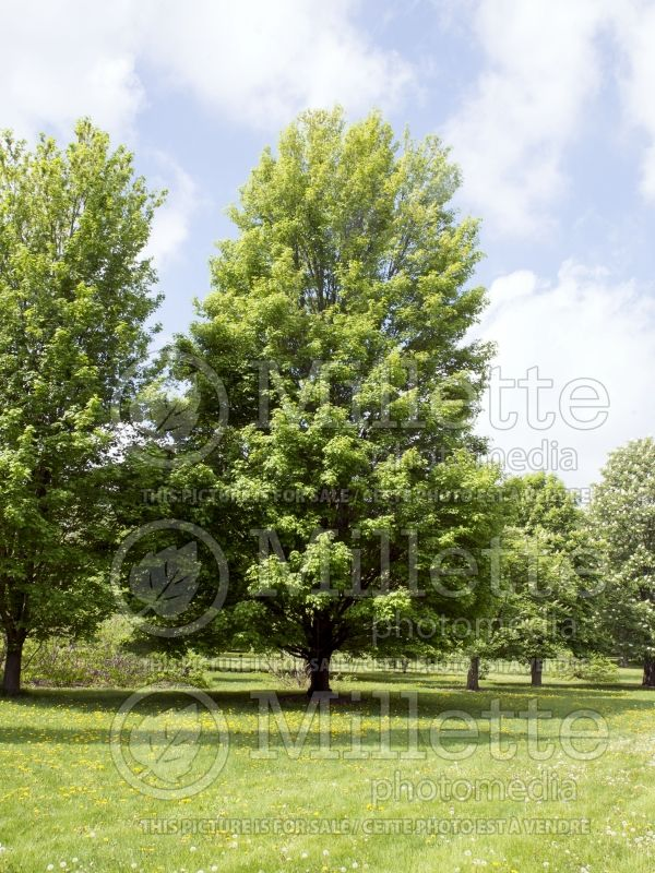 Acer Bowhall (Red Maple) 7