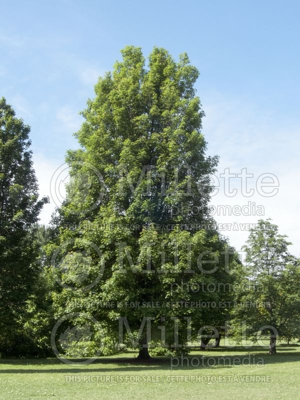 Acer Bowhall (Red Maple) 8