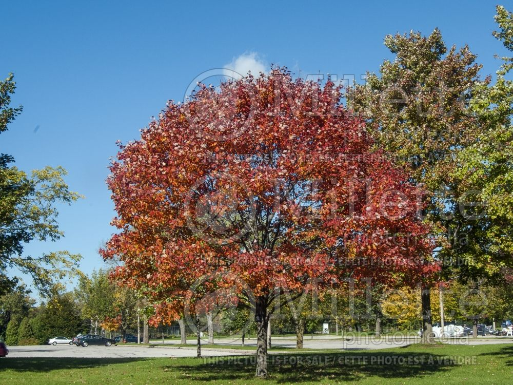 Acer Northwood (Red maple) 2