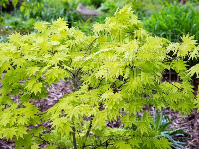 Acer Autumn Moon (Japanese Maple) 8