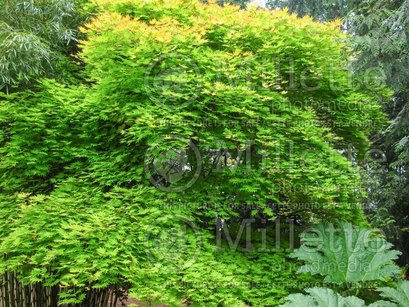 Acer Autumn Moon (Japanese Maple) 11
