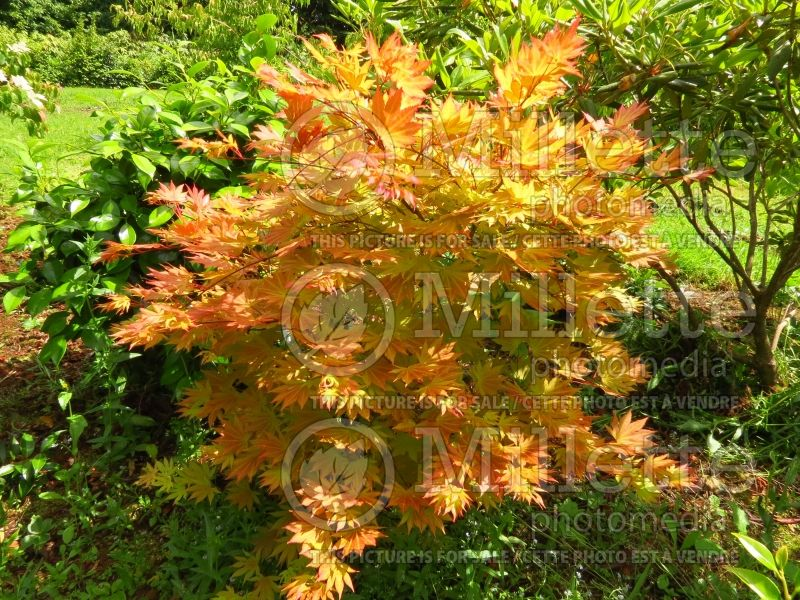 Acer Autumn Moon (Japanese Maple) 2