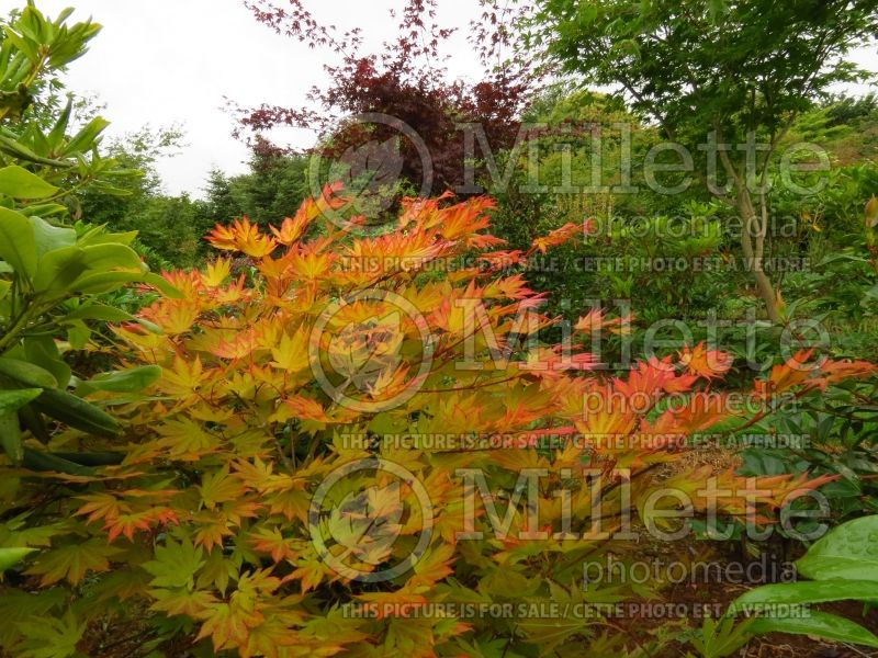 Acer Autumn Moon (Japanese Maple) 1