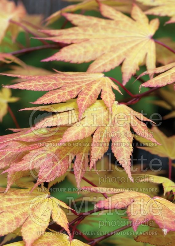 Acer Autumn Moon (Japanese Maple) 5