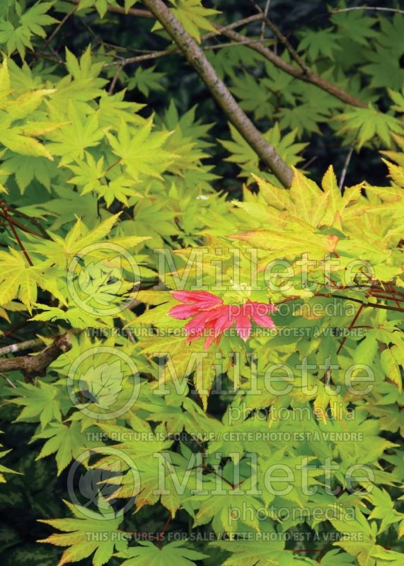 Acer Autumn Moon (Japanese Maple) 4