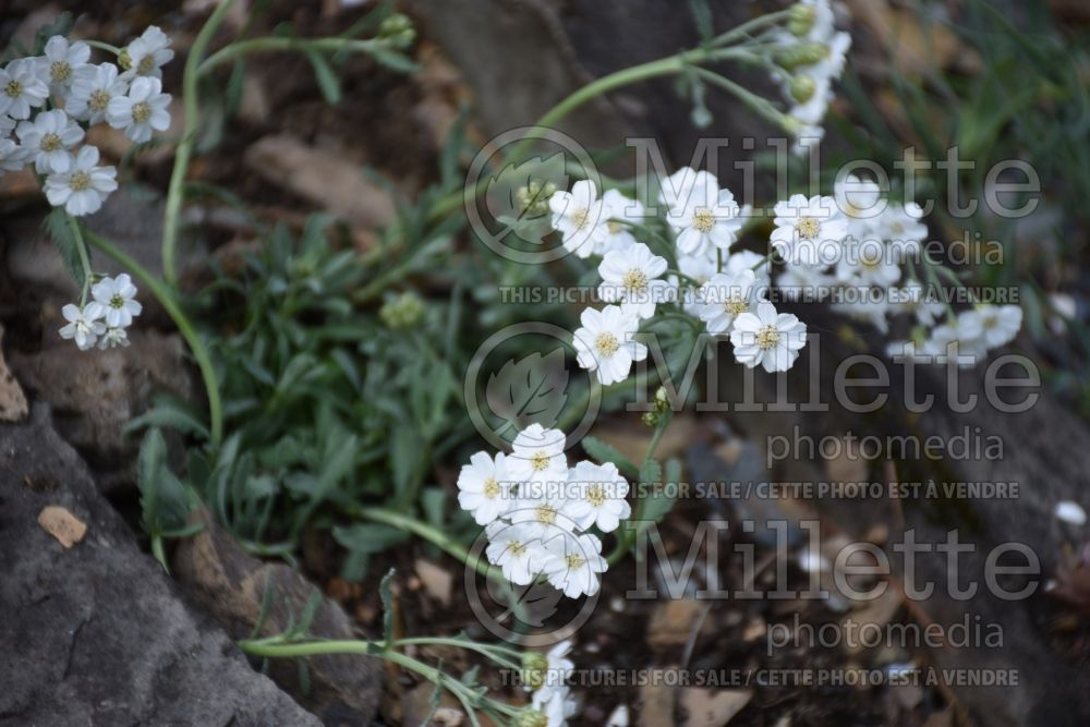 Achillea ageratifolia (Greek yarrow) 2