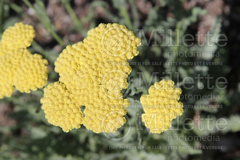 Achillea Moonshine (Yarrow) 6