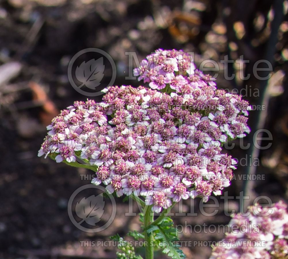 Achillea Desert Eve Deep Rose (Yarrow) 2