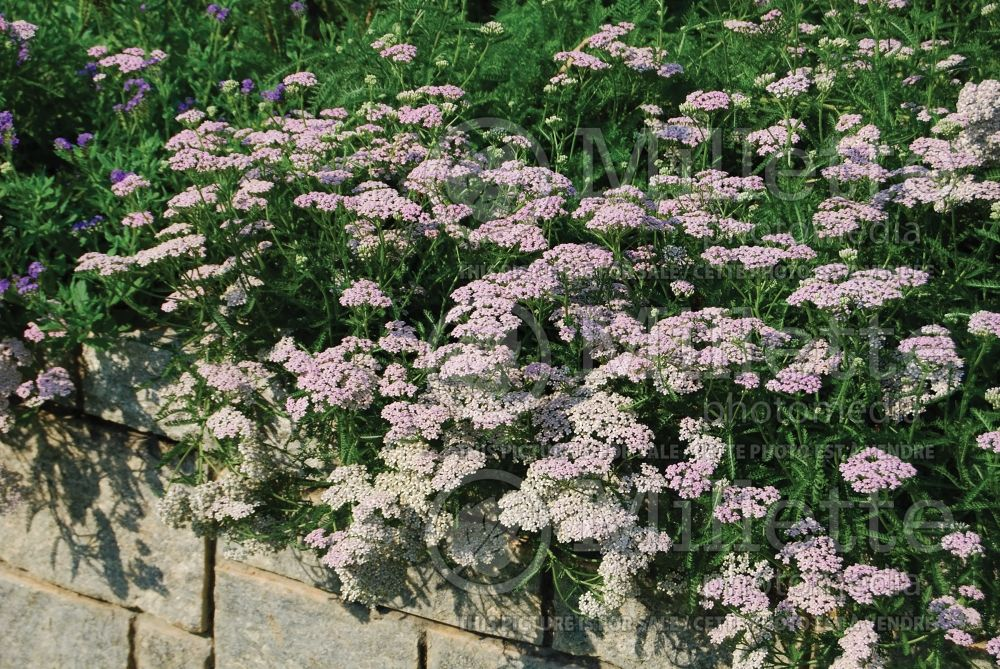 Achillea Lavender Beauty (Yarrow) 1