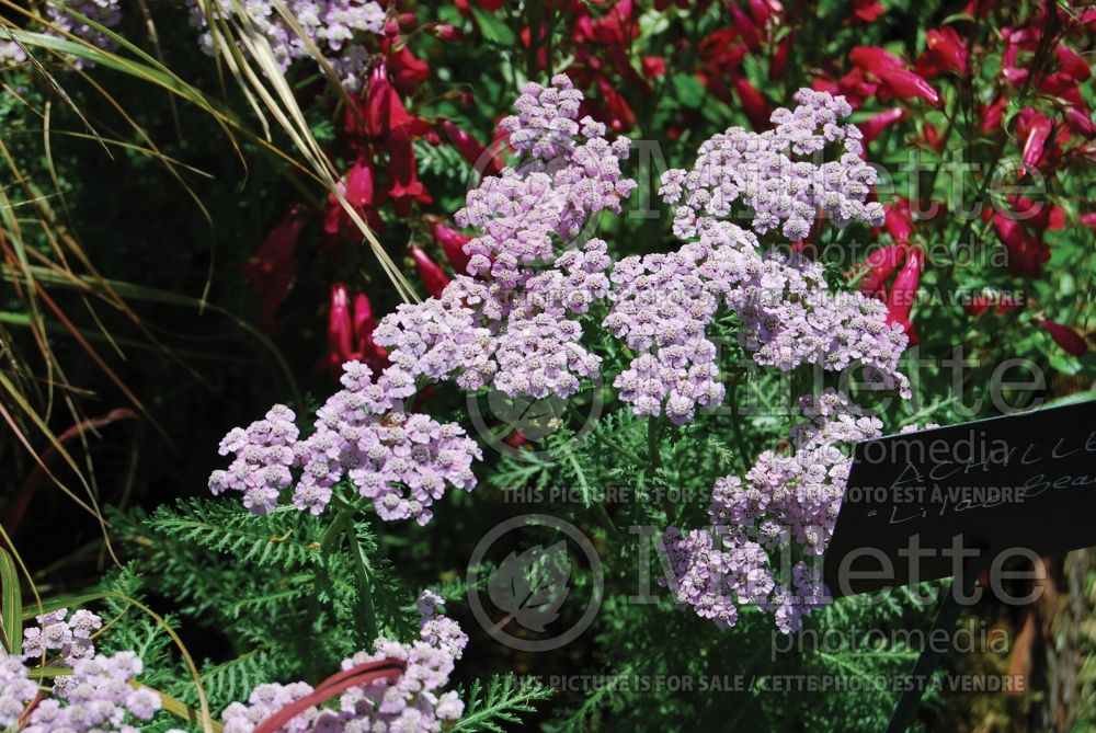 Achillea Lilac Beauty (Yarrow) 1