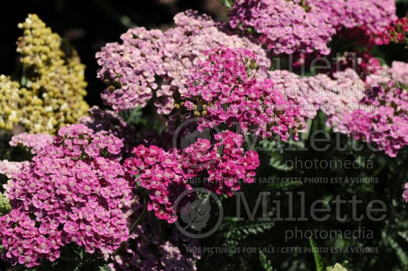 Achillea Saucy Seduction (Yarrow) 3