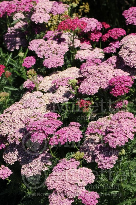 Achillea Saucy Seduction (Yarrow) 4