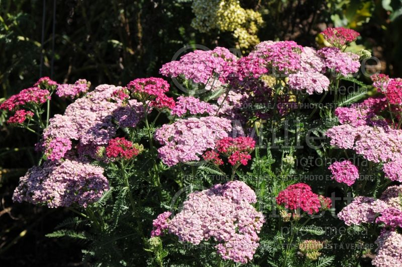 Achillea Saucy Seduction (Yarrow) 5