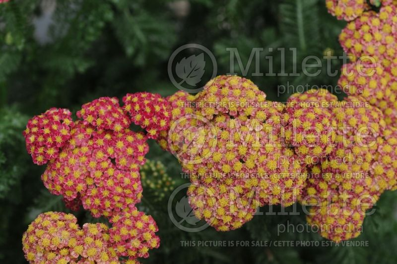 Achillea Strawberry Seduction (Sneezewort, Sneezeweed, Brideflower Yarrow) 8