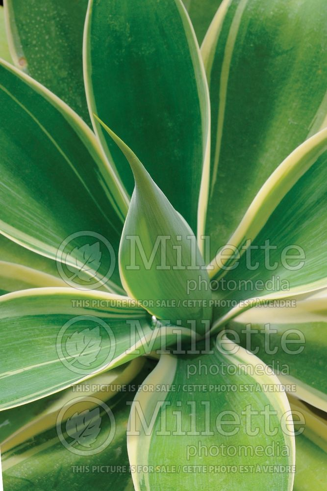 Agave Ray of Light (Agave cactus) 2