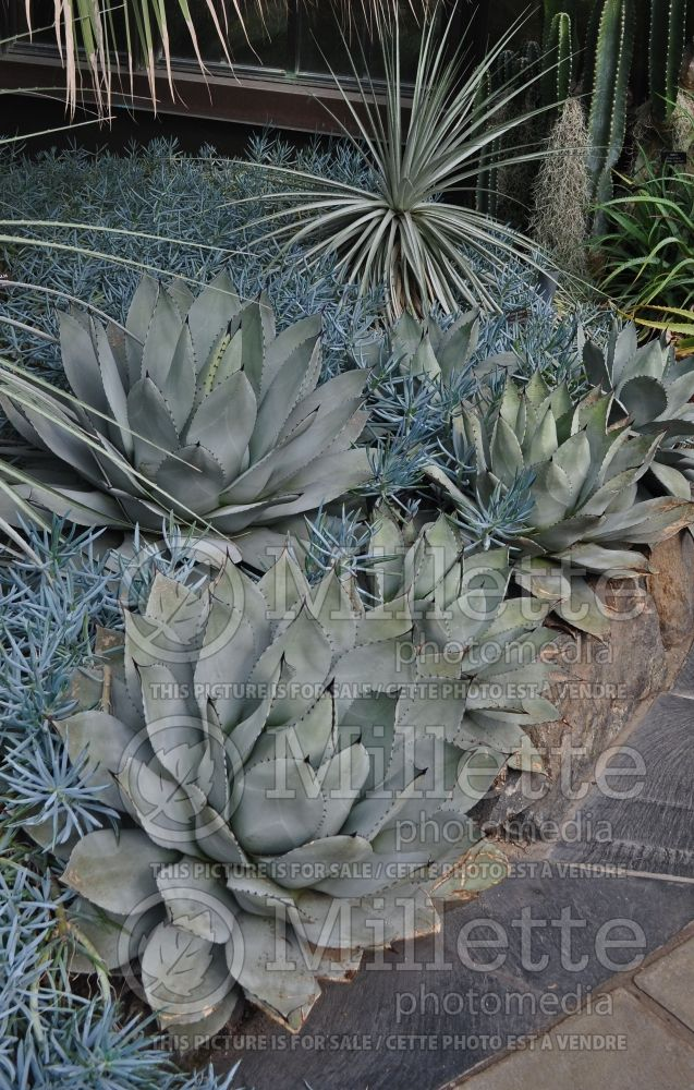 Agave parryi (Agave cactus) 4