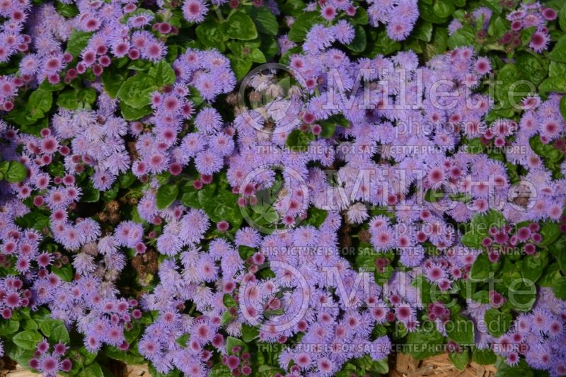 Ageratum Aguilera Purple (Floss flower) 1