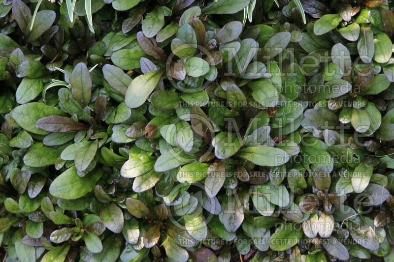 Ajuga Blueberry Muffin (Bugleweed) 1