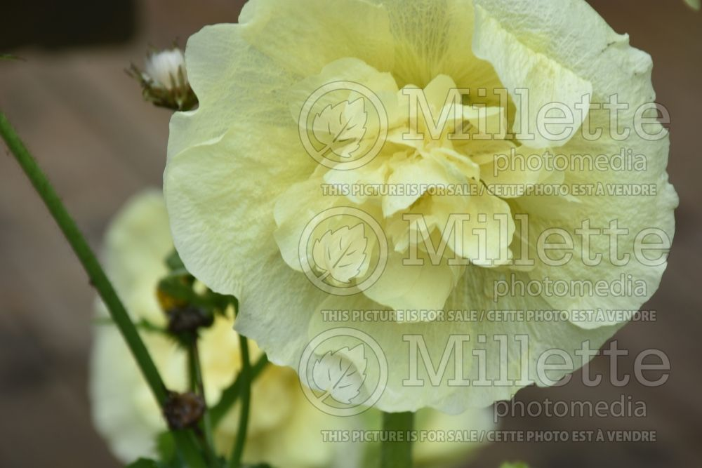 Alcea Chater's Yellow (Hollyhock) 2