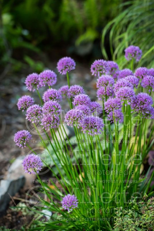 Allium Millenium (Ornamental Onion) 4