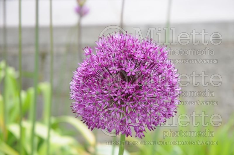 Allium Purple Sensation (Ornamental Onion) 6