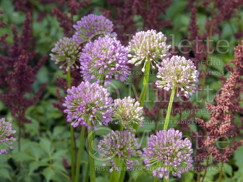 Allium Millenium (Ornamental Onion) 5