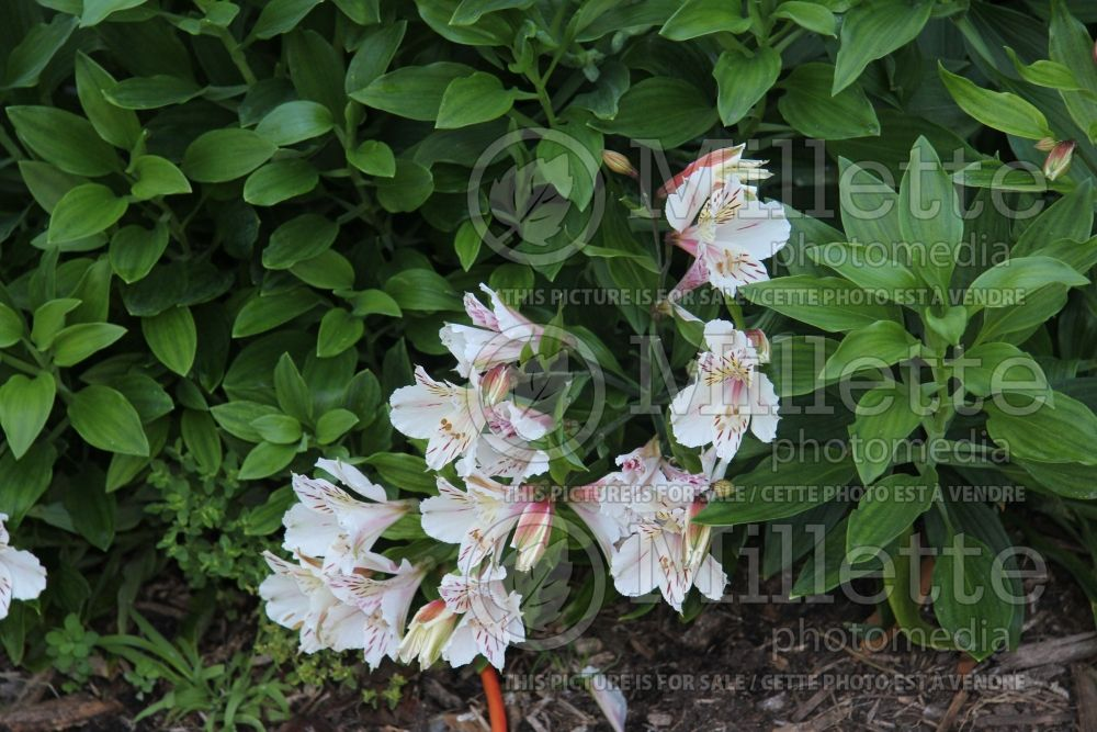 Alstroemeria Casablanca (Lily-of-the-Incas) 2