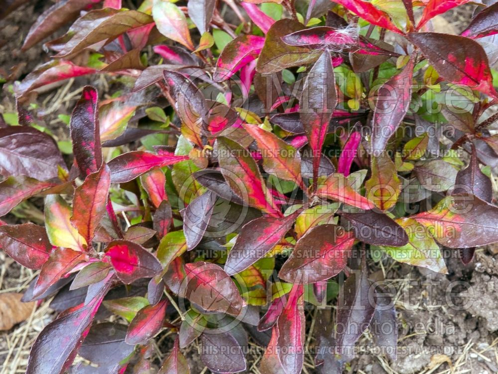 Alternanthera Red Carpet (Joseph's Coat) 1