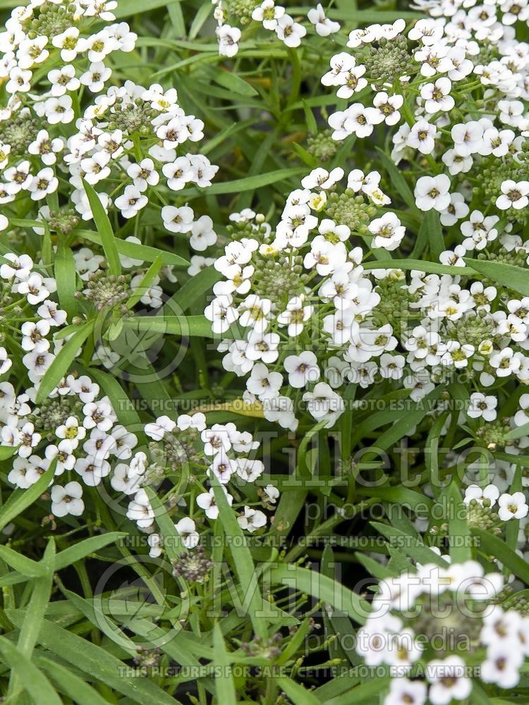 Alyssum aka Lobularia Carpet of Snow (Madwort) 7