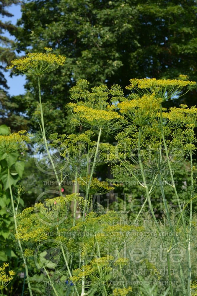 Anethum graveolens (Dill herb aneth) 6