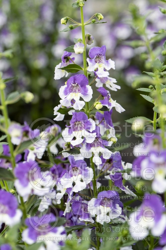 Angelonia Angelface Wedgwood Blue (Summer Snapdragon) 3
