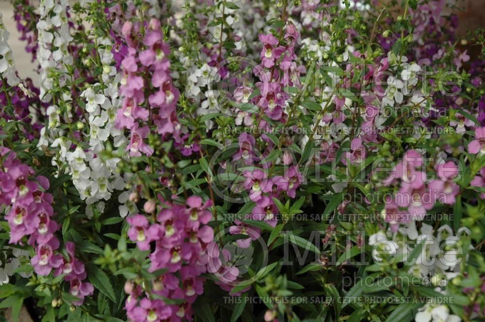 Angelonia Serena Mix (Angelonia) 1