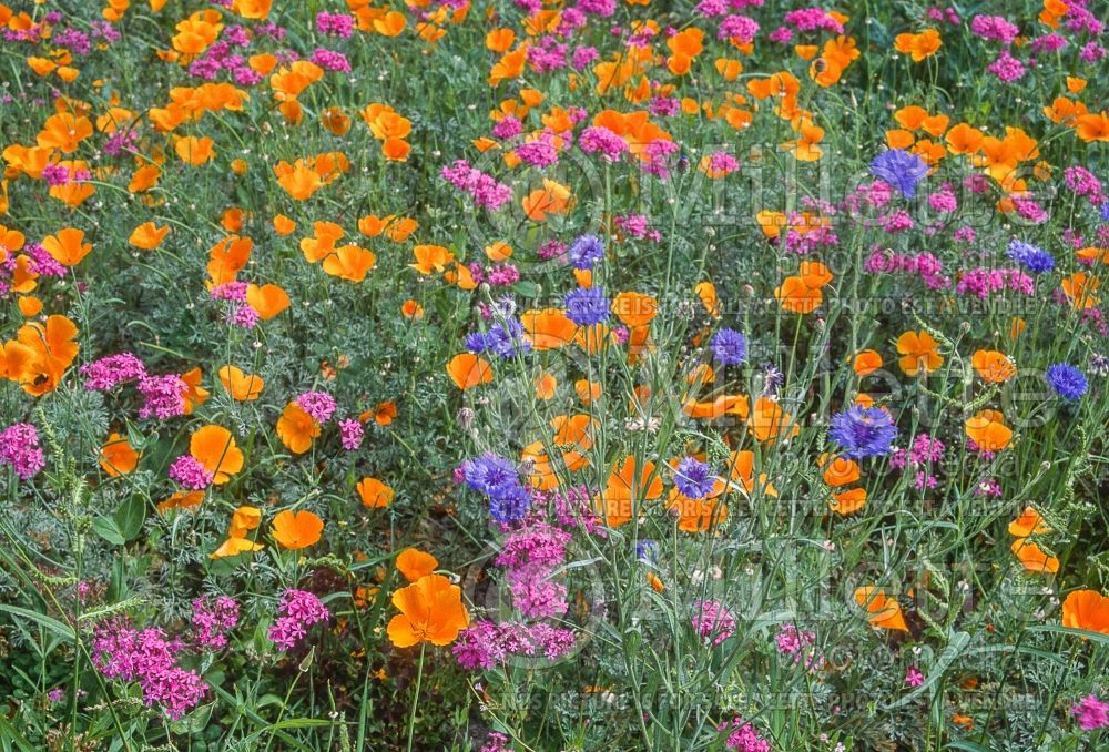 Annual wildflower mix 1