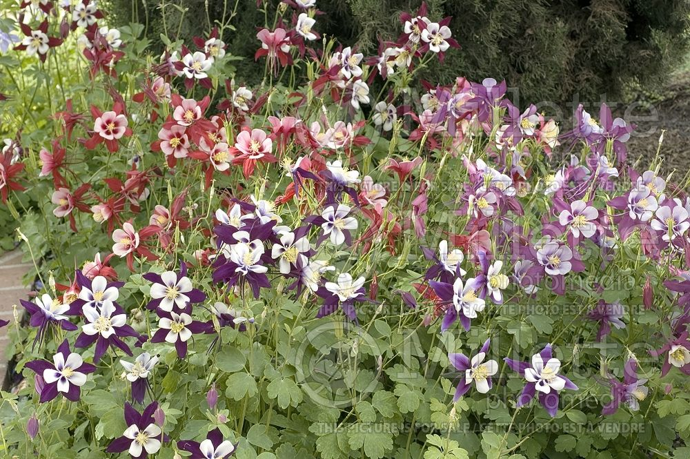 Aquilegia - Mix (columbine) 6