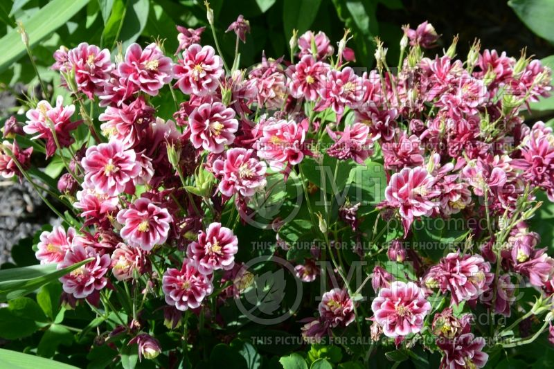 Aquilegia Winky Double Red and White (Columbine) 2