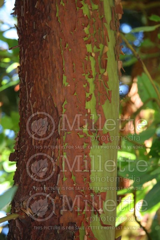 Arbutus menziesii - Bark (Strawberry Tree) 2