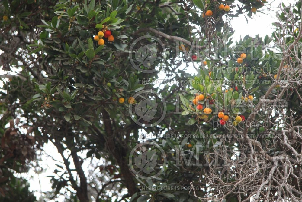 Arbutus unedo (Strawberry tree) 2