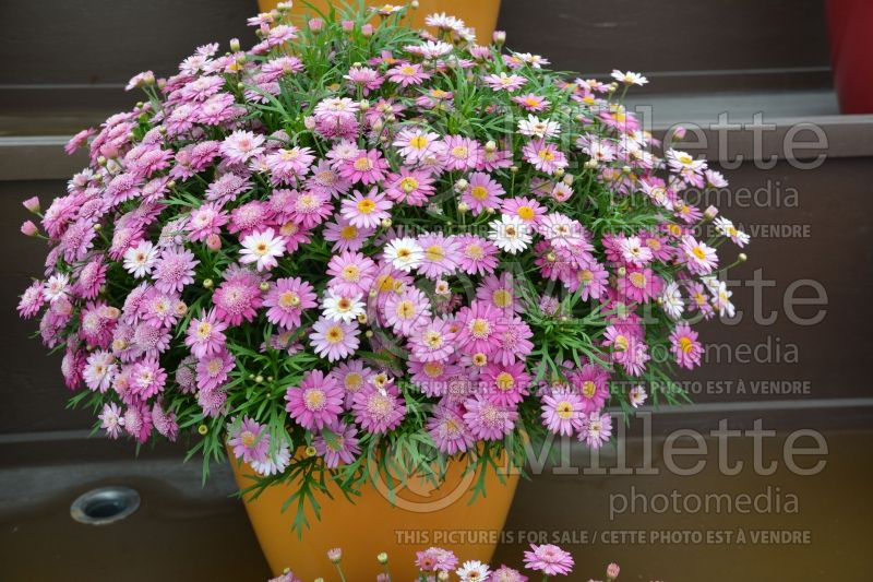 Argyranthemum Angelic Candy Pink (Paris daisy) 2
