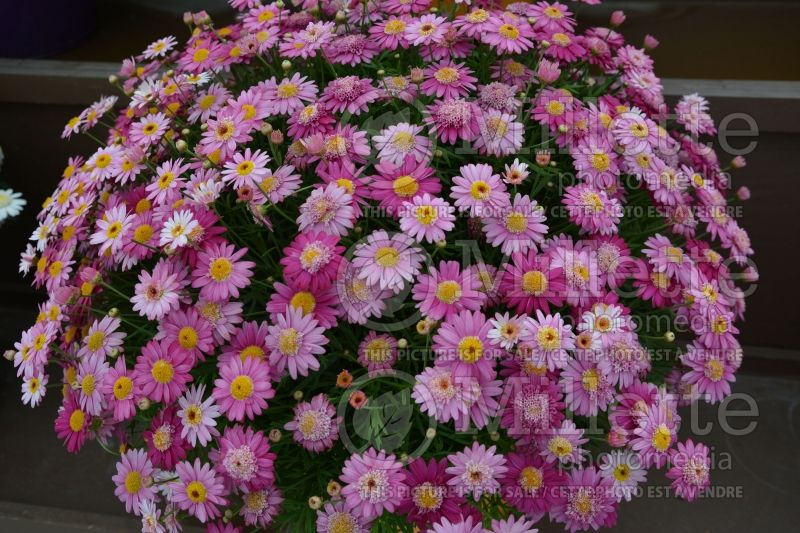 Argyranthemum Angelic Candy Pink (Paris daisy) 1
