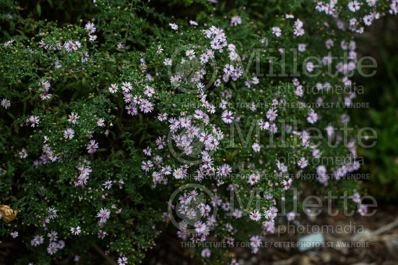 Aster ou Symphyotrichum Coombe Fishacre (Aster) 1
