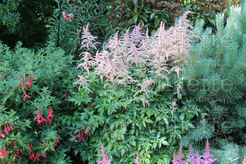 Astilbe Color Flash Lime (Chinese Astilbe) 4