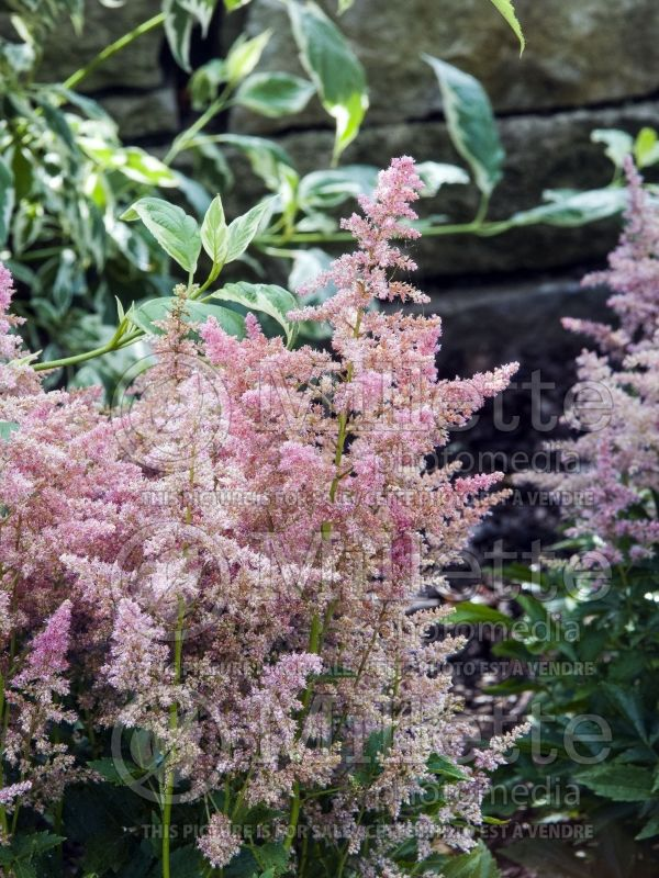 Astilbe Country and Western (Astilbe) 3