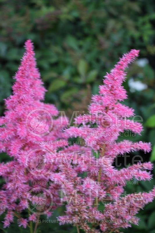 Astilbe Rise and Shine (Astilbe) 1