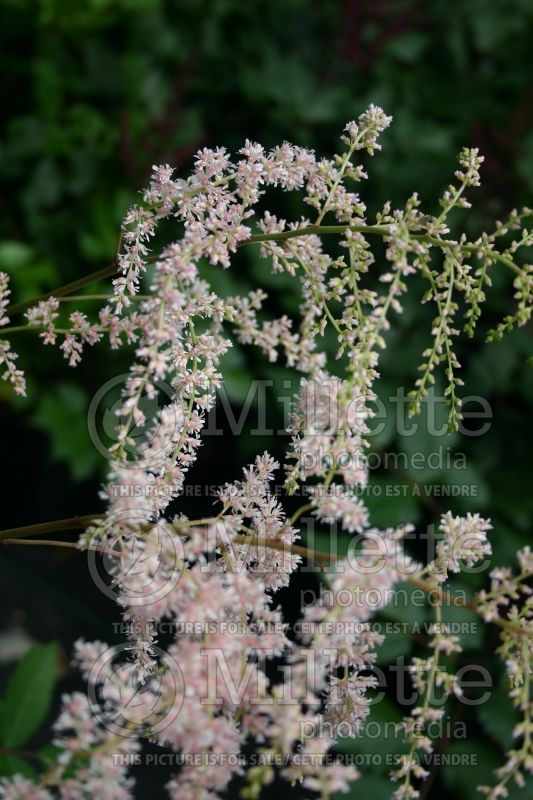 Astilbe Betsy Cuperus (Astilbe) 1