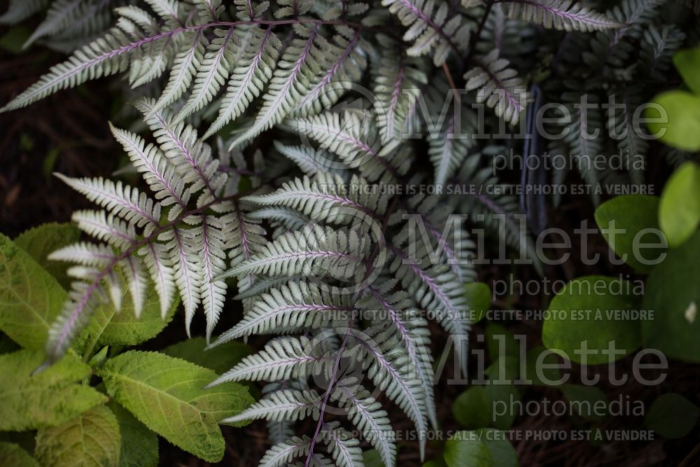 Athyrium Godzilla (Giant Japanese Painted Fern) 2